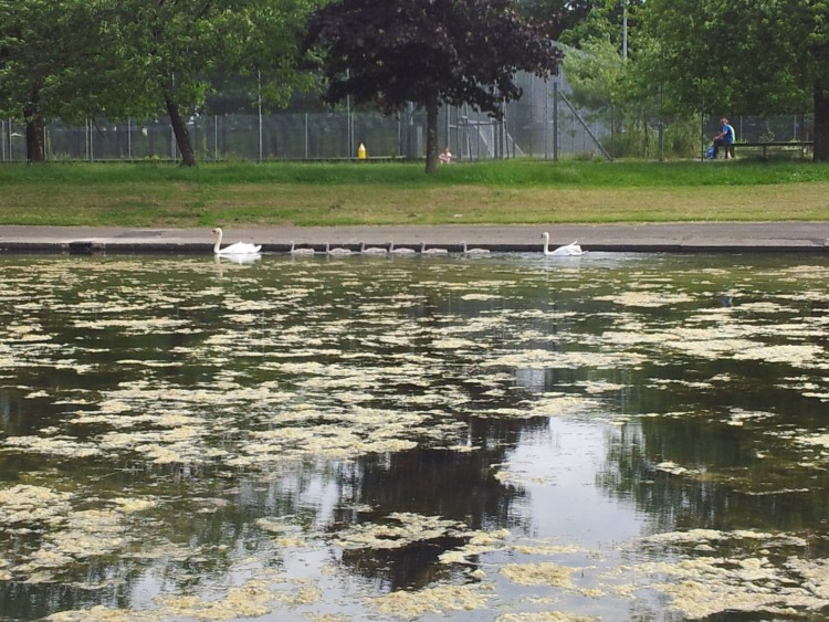 Alexandra Park Festival 2014 Pond Swans 01