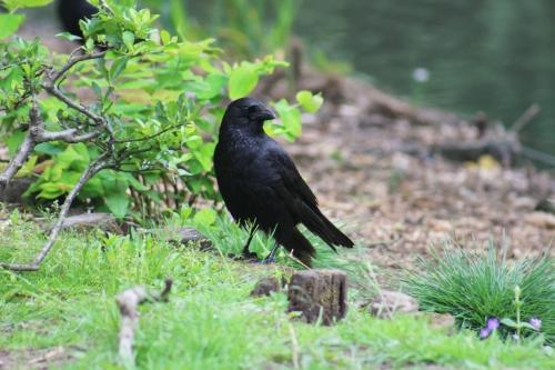 Wild Glasgow Photography Competition Winner Jordan Lyle - 'Crow'